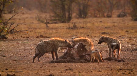 Spotted hyaena and black back jackal scavenging at dawn in Kruger National park, South Africa; Specie Crocuta crocuta family of Hyaenidae