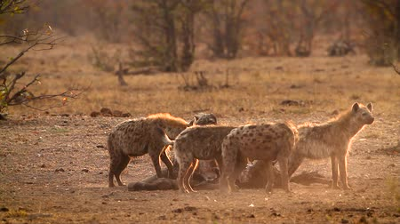 limpopo : Spotted hyaena and black back jackal scavenging at dawn in Kruger National park, South Africa; Specie Crocuta crocuta family of Hyaenidae
