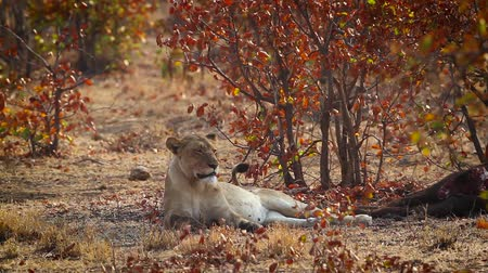 limpopo : African lioness lying down close to a kill in Kruger National park, South Africa; Specie Panthera leo family of Felidae