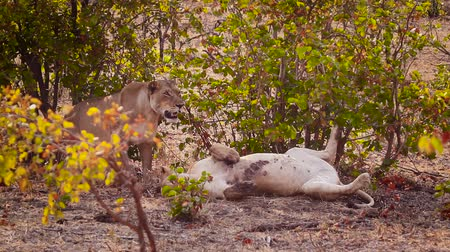 Two African lioness bonding in Kruger National park, South Africa; Specie Panthera leo family of Felidae