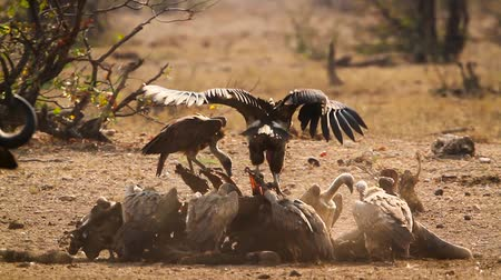 necked : Lappet faced Vulture and White backed Vulture scavenging in Kruger National park, South Africa; Specie family Torgos tracheliotos and Gyps africanus of Accipitridae