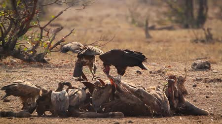 Lappet faced Vulture and White backed Vulture scavenging in Kruger National park, South Africa; Specie family Torgos tracheliotos and Gyps africanus of Accipitridae