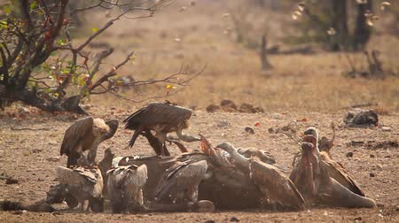 accipitridae : Lappet faced Vulture and White backed Vulture scavenging in Kruger National park, South Africa; Specie family Torgos tracheliotos and Gyps africanus of Accipitridae
