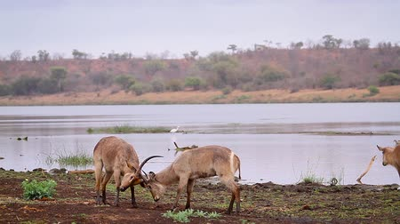 limpopo : Common Waterbuck male dueling in nice riverview scenery in Kruger National park, South Africa; Specie Kobus ellipsiprymnus family of Bovidae