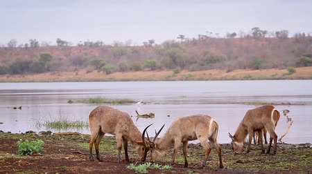 Common Waterbuck male dueling in nice riverview scenery in Kruger National park, South Africa; Specie Kobus ellipsiprymnus family of Bovidae