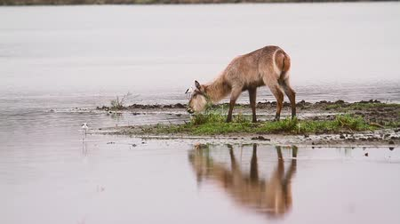 Young Common Waterbuck grazing in middle of the river with waterbirds in Kruger National park, South Africa; Specie Kobus ellipsiprymnus family of Bovidae