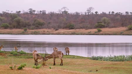 Two Common Waterbuck fighting in riverside scenery in Kruger National park, South Africa; Specie Kobus ellipsiprymnus family of Bovidae