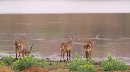 Three Common Waterbuck grazing in riverside in Kruger National park, South Africa; Specie Kobus ellipsiprymnus family of Bovidae