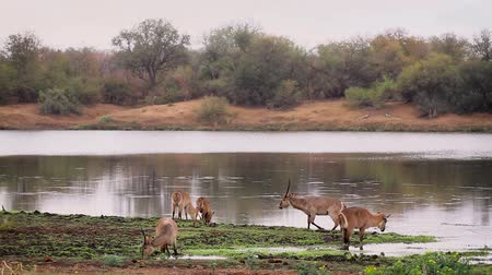 Common Waterbuck group grazing in riverside scenery in Kruger National park, South Africa; Specie Kobus ellipsiprymnus family of Bovidae