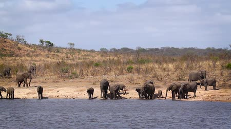 zimbabwe : African bush elephant herd drinking in lake in Kruger National park, South Africa; Specie Loxodonta africana family of Elephantidae