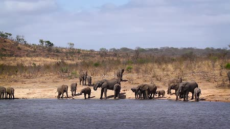 African bush elephant herd drinking in lake in Kruger National park, South Africa; Specie Loxodonta africana family of Elephantidae