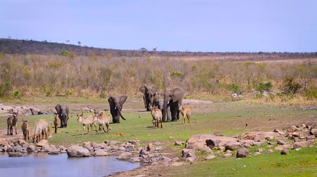 Small group of African bush elephants chasing waterbuck in lake side in Kruger National park, South Africa; Specie Loxodonta africana family of Elephantidae Dostupné videozáznamy