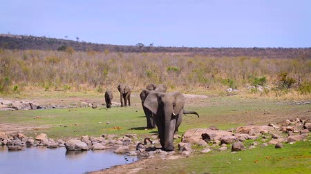 Small group of African bush elephants walking in front fiew on lake side in Kruger National park, South Africa; Specie Loxodonta africana family of Elephantidae