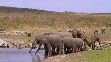 limpopo : small group of African bush elephants drinking in lake in Kruger National park, South Africa; Specie Loxodonta africana family of Elephantidae