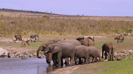 small group of African bush elephants drinking in lake in Kruger National park, South Africa; Specie Loxodonta africana family of Elephantidae