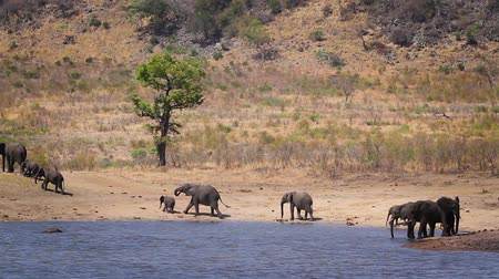 Herd of African bush elephants drinking and bathing in lake in Kruger National park, South Africa; Specie Loxodonta africana family of Elephantidae Dostupné videozáznamy