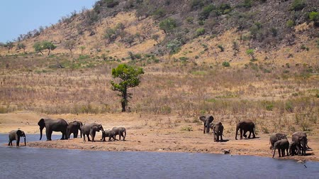 limpopo : Herd of African bush elephants drinking and bathing in lake in Kruger National park, South Africa; Specie Loxodonta africana family of Elephantidae Stock Footage