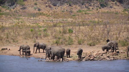 Herd of African bush elephants drinking and bathing in lake in Kruger National park, South Africa; Specie Loxodonta africana family of Elephantidae Stockvideo