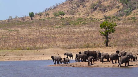 endangered species : Herd of African bush elephants drinking and bathing in lake in Kruger National park, South Africa; Specie Loxodonta africana family of Elephantidae Stock Footage