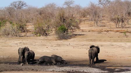 Small group of African bush elephants having mud bath in waterhole in Kruger National park, South Africa; Specie Loxodonta africana family of Elephantidae