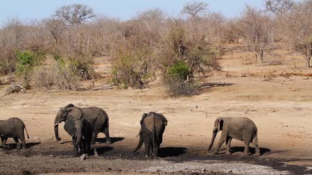 limpopo : Small group of African bush elephants having mud bath in waterhole in Kruger National park, South Africa; Specie Loxodonta africana family of Elephantidae