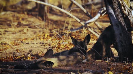 Four young African wild dog lying down in shadow in Kruger National park, South Africa; Specie Lycaon pictus family of Canidae