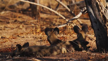 endangered species : Four young African wild dog lying down in shadow in Kruger National park, South Africa; Specie Lycaon pictus family of Canidae