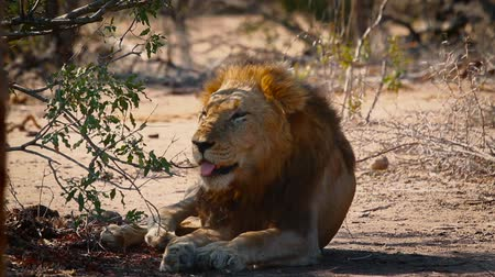 African lion male resting, yawning and grooming in shadow in Kruger National park, South Africa; Specie Panthera leo family of Felidae Dostupné videozáznamy