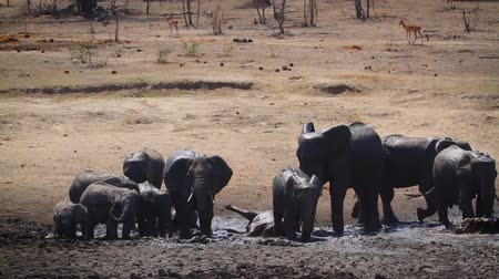 endangered species : Small group of African bush elephants having mud bath in waterhole in Kruger National park, South Africa; Specie Loxodonta africana family of Elephantidae