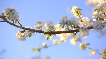 dáma : A blooming branch of apple tree in spring with light wind. Blossoming apple with beautiful white flowers. Branch of apple tree in bloom in the spring in sunshine garden. Dostupné videozáznamy