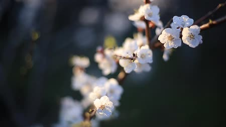 profundidade de campo rasa : flowering apricot branch in the spring swinging in the wind. flowers on a tree in the garden Stock Footage