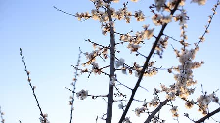 dáma : flowering apricot branch in the spring swinging in the wind. flowers on a tree in the garden Dostupné videozáznamy