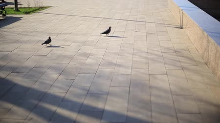 migalha : Two gray pigeons fight for walnut on the path in the park,sunny day,yellow fallen leaves,slow motion,no color grading,tracking shot,autumn season.