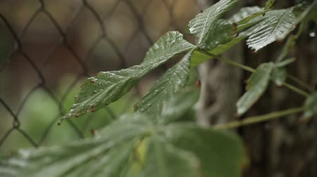siding : raindrops on green leaves, rain in the forest. Stock Footage