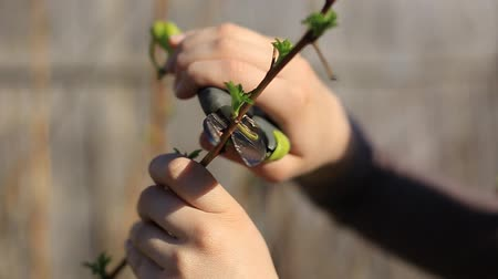 садовник : Pruning fruit trees with garden secateurs in spring garden