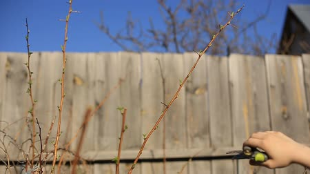 ledvina : Pruning fruit trees with garden secateurs in spring garden