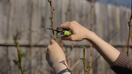 Pruning fruit trees with garden secateurs in spring garden