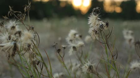 kayran : different wild grass swaying in the field on a summer evening at sunset.
