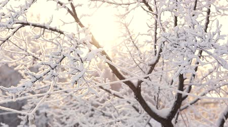 tree branches in the snow Sunny winter day Stock Footage