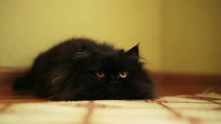 lying cat : Black fluffy cat lying on the floor in the room