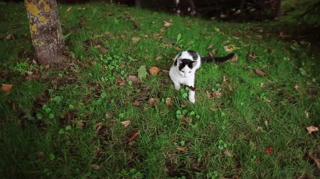 bullfrog : A cute black and white cat is playing with a brown frog in the grass under the tree.