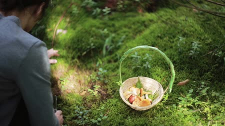looking : Young beautiful woman squatting and looking for mushrooms. Basket with mushrooms standing near on the grass. Back view. Stock Footage