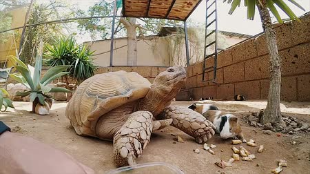świnka morska : Man and woman try to feed a big turtle. Tortilla in a zoo, close-up view.