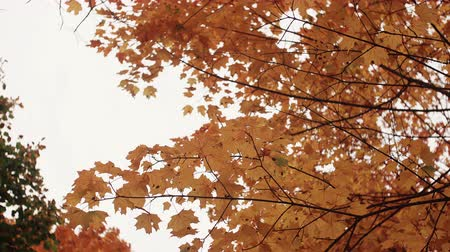 golden color : golden yellow orange maple leaves in autumn park view from below.