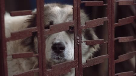taranmamış : Beautiful big dog sitting at the metal cage and sadness looking outside. Homless animal. Stok Video