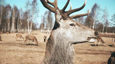 лидер : Large brown deer looking in the camera and chews, herd of the animals on the background. Autumn meadow.