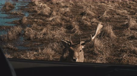 agancs : Little deer walks on a safari near water in autumn day. Brown fawn approach the car, the hand feeds an animal. Stock mozgókép