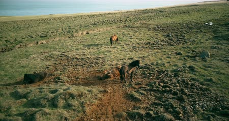 vahşi : Aerial view of the wild horses grazing on the lava field. Animal rolls in the sand on the shore of the sea. Stok Video