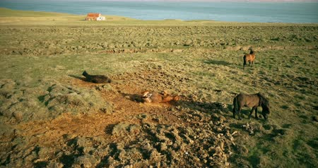 sörény : Copter flying over the wild horses grazing on the lava field. Animal rolls in the sand on the shore of the sea.