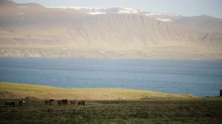 kobyla : Beautiful view of the herd of horses grazing on the field, eating the grass. Wild Icelandic horses on the nature. Dostupné videozáznamy